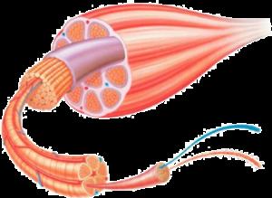Structure du muscle, fibres musculaires