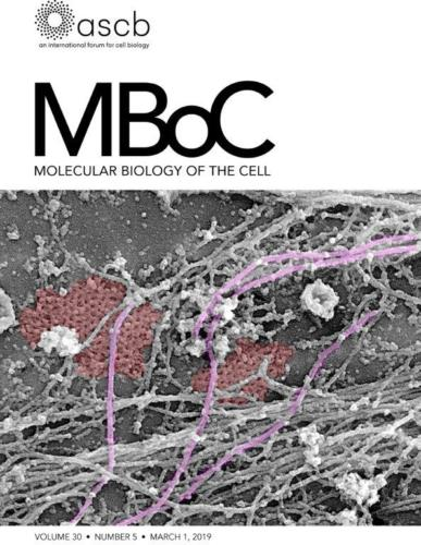 Cover MBoC - Platinum-replica transmission electron microscopy of myotube plasma membranes showing large clathrin lattices (pseudocolored in red) associated with cytoskeletal filaments